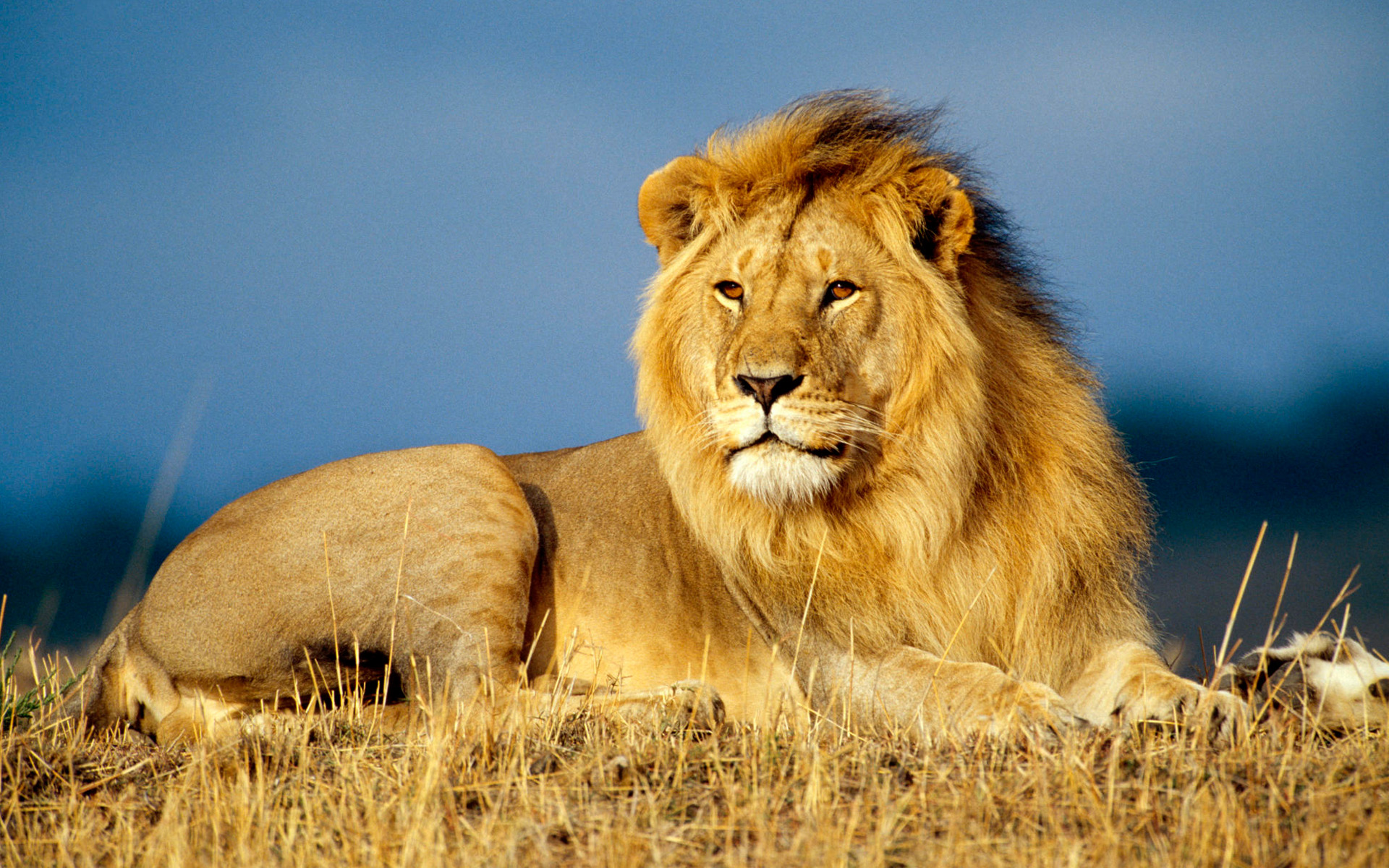 african_lion_king-wide_1