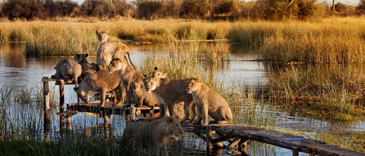 lions-zarafa-botswana